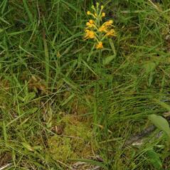 Habit: Platanthera cristata. ~ By Gary Van Velsir. ~ Copyright © 2021. ~