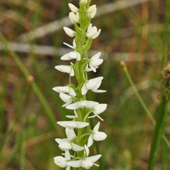 Inflorescences: Platanthera dilatata. ~ By Gary Van Velsir. ~ Copyright © 2020. ~