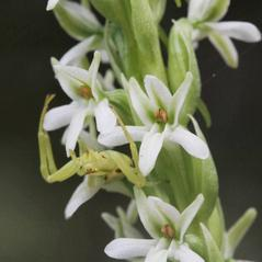Flowers: Platanthera elegans. ~ By Ron Hanko. ~ Copyright © 2021. ~  ~ nativeorchidsofthepacificnorthwest.blogspot.com