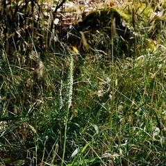 Habit: Platanthera elegans. ~ By Tom Nelson. ~ Copyright © 2020. ~
