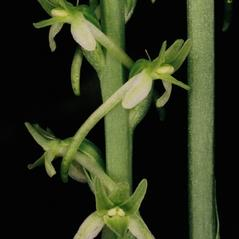 Inflorescences: Platanthera elongata. ~ By Tom Nelson. ~ Copyright © 2019. ~