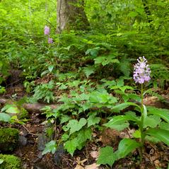 Habit: Platanthera grandiflora. ~ By Brad Wilson. ~ Copyright © 2019. ~