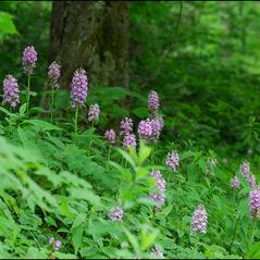 Habit: Platanthera grandiflora. ~ By Zach Bradford. ~ Copyright © 2019. ~