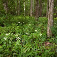 Habit: Platanthera integrilabia. ~ By Brad Wilson. ~ Copyright © 2020. ~