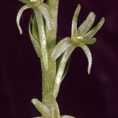 Flowers: Platanthera leptopetala. ~ By Ronald A. Coleman. ~ Copyright © 2018. ~