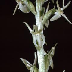 Inflorescences: Platanthera leptopetala. ~ By Ronald A. Coleman. ~ Copyright © 2020. ~