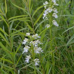 Habit: Platanthera leucophaea. ~ By Christopher David Benda. ~ Copyright © 2020. ~