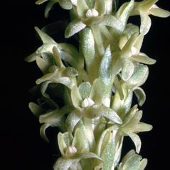 Flowers: Platanthera michaelii. ~ By Ronald A. Coleman. ~ Copyright © 2018. ~