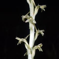 Inflorescences: Platanthera michaelii. ~ By Ronald A. Coleman. ~ Copyright © 2018. ~