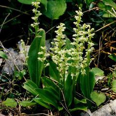 Habit: Platanthera obtusata. ~ By Gary Van Velsir. ~ Copyright © 2020. ~