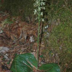 Plant form: Platanthera orbiculata. ~ By Gary Van Velsir. ~ Copyright © 2018. ~