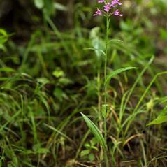Plant form: Platanthera peramoena. ~ By Brad Wilson. ~ Copyright © 2018. ~