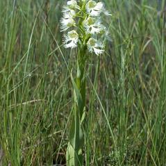 Plant form: Platanthera praeclara. ~ By David McAdoo. ~ Copyright © 2018. ~