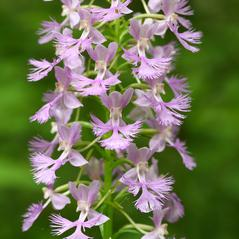 Inflorescences: Platanthera shriveri. ~ By Brad Wilson. ~ Copyright © 2021. ~