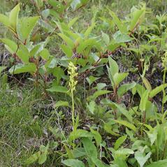 Habit: Platanthera tipuloides. ~ By Shu Suehiro. ~ Copyright © 2019. ~  ~ www.botanic.jp/index.htm