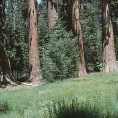 Habit: Platanthera yosemitensis. ~ By Ronald A. Coleman. ~ Copyright © 2019. ~