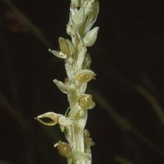 Inflorescences: Platanthera yosemitensis. ~ By Ronald A. Coleman. ~ Copyright © 2019. ~