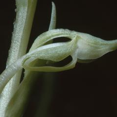 Flowers: Platanthera zothecina. ~ By Ronald A. Coleman. ~ Copyright © 2021. ~