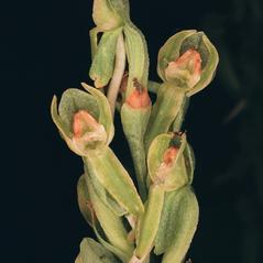 Flowers: Platanthera zothecina. ~ By Tom Nelson. ~ Copyright © 2021. ~