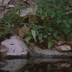 Habit: Platanthera zothecina. ~ By Ronald A. Coleman. ~ Copyright © 2021. ~