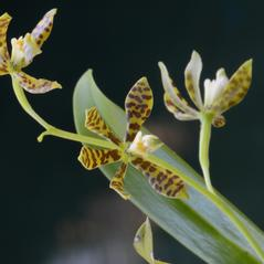Inflorescences: Prosthechea boothiana. ~ By Roger L. Hammer. ~ Copyright © 2020. ~