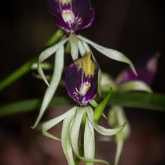 Flowers: Prosthechea cochleata. ~ By James T. Johnson. ~ Copyright © 2018. ~