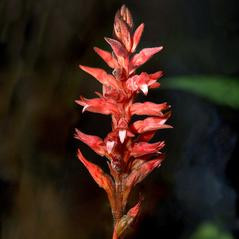 Inflorescences: Sacoila lanceolata. ~ By Jay Staton. ~ Copyright © 2020. ~  ~ Jay Staton Photography