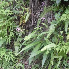 Habit: Spathoglottis plicata. ~ By Roger Graveson. ~ Copyright © 2018. ~  ~ www.saintlucianplants.com