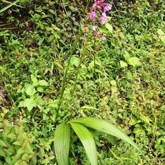 Plant form: Spathoglottis plicata. ~ By Roger Graveson. ~ Copyright © 2018. ~  ~ www.saintlucianplants.com