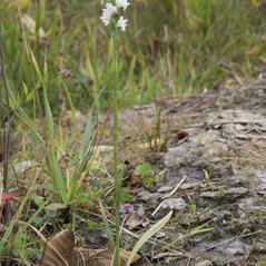 Plant form: Spiranthes arcisepala. ~ By John Gange. ~ Copyright © 2021. ~