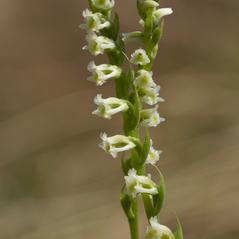 Inflorescences: Spiranthes brevilabris. ~ By Layla Dishman. ~ Copyright © 2021. ~