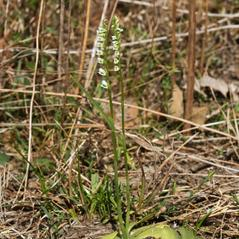 Plant form: Spiranthes brevilabris. ~ By Layla Dishman. ~ Copyright © 2018. ~