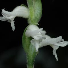 Flowers: Spiranthes cernua. ~ By Gary Van Velsir. ~ Copyright © 2019. ~