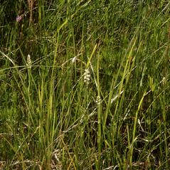 Habit: Spiranthes delitescens. ~ By Ronald A. Coleman. ~ Copyright © 2018. ~