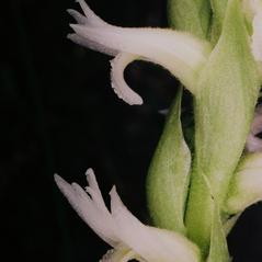 Flowers: Spiranthes diluvialis. ~ By Tom Nelson. ~ Copyright © 2020. ~