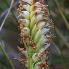 Fruits: Spiranthes diluvialis. ~ By Ron Hanko. ~ Copyright © 2020. ~  ~ nativeorchidsofthepacificnorthwest.blogspot.com