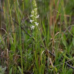 Plant form: Spiranthes diluvialis. ~ By Ron Hanko. ~ Copyright © 2019. ~  ~ nativeorchidsofthepacificnorthwest.blogspot.com