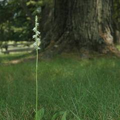 Habit: Spiranthes lacera. ~ By Gary Van Velsir. ~ Copyright © 2018. ~
