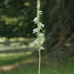 Inflorescences: Spiranthes lacera. ~ By Gary Van Velsir. ~ Copyright © 2020. ~