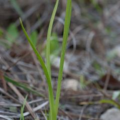 Leaves: Spiranthes laciniata. ~ By Paul Rebmann. ~ Copyright © 2020 Wild Florida Photo. ~  ~ www.wildflphoto.com/