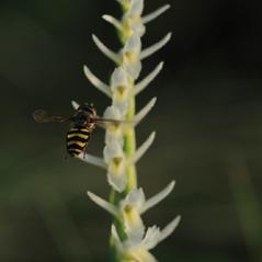 Inflorescences: Spiranthes longilabris. ~ By Jen Modliszewski. ~ Copyright © 2020. ~