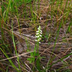 Habit: Spiranthes lucida. ~ By Jacqueline Donnelly. ~ Copyright © 2021. ~