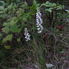 Plant form: Spiranthes magnicamporum. ~ By Peter M. Dziuk. ~ Copyright © 2018 Minnesota Wildflowers. ~  ~ www.MinnesotaWildflowers.info