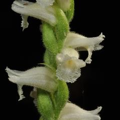 Flowers: Spiranthes ochroleuca. ~ By Gary Van Velsir. ~ Copyright © 2020. ~