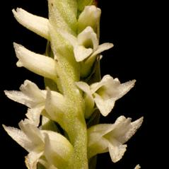 Flowers: Spiranthes porrifolia. ~ By Gary Van Velsir. ~ Copyright © 2018. ~