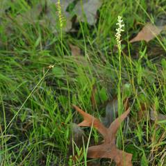 Plant form: Spiranthes praecox. ~ By Gary Van Velsir. ~ Copyright © 2020. ~
