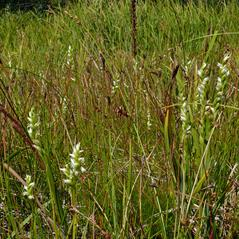 Habit: Spiranthes stellata. ~ By Tanya Harvey. ~ Copyright © 2018. ~  ~ westerncascades.com
