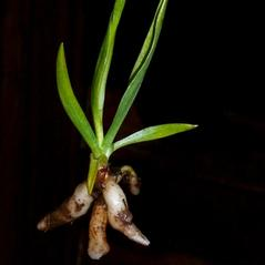 Root: Spiranthes stellata. ~ By Tanya Harvey. ~ Copyright © 2018. ~  ~ westerncascades.com