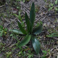 Leaves: Spiranthes vernalis. ~ By Sonnia Hill. ~ Copyright © 2020. ~