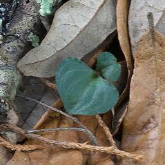 Leaves: Triphora craigheadii. ~ By Roger L. Hammer. ~ Copyright © 2021. ~